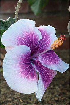 10 Dinnerplate Hibiscus/ Purple Cream/ Perennial Flower Seed/ Easy to Grow/ Huge Inch Flowers Tropical Flowers, Hawaiian Flowers, Hibiscus Flowers, Exotic Flowers, Amazing Flowers, Beautiful Flowers, Purple Hibiscus, Flowers Perennials, Planting Flowers