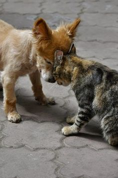 """Tough Guys! Puppy Says """"Get out of my Way I'm Bigger Then You"""" Kitten Growls Back """"But You Haven't Felt My Claws Yet, Their Sharper then Ever."""""""