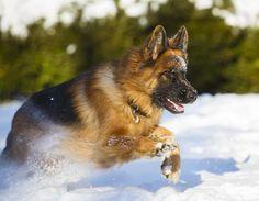 Snowy German Shepherd Fun by Kristin Castenschiold on 500px