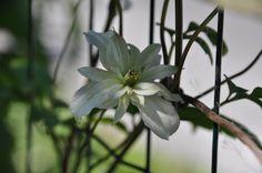 """Bosrank / Clematis montana """"majorie"""""""