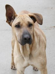 Zoey is an adoptable Shar Pei Dog in Bay City, MI.