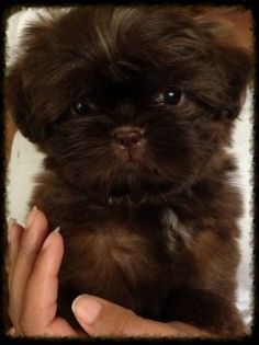 best picture ideas about shih tzu puppies - oldest dog breeds Shih Tzus, Shih Tzu Hund, Shih Tzu Mix, Shih Tzu Puppy, Shitzu Puppies, Cute Puppies, Cute Dogs, Dogs And Puppies, Doggies