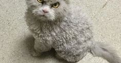 They Call Him The Angriest Looking Cat In The World. After Seeing His Photos, You'll Know Why [STORY] | Cats | Pinterest | Koty i Zwierzęta