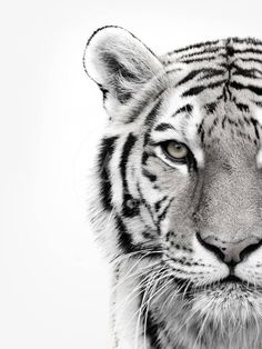 Animal Drawings ALU ART - WHITE TIGER, Malerifabrikken - Revive your inner Tiger! Self-confident, independent and autonomously: this animal-image is the perfect accessory for your interiors. Tatoo Tiger, Tiger Tattoo Design, Tiger Logo, Tiger Design, Tiger Tiger, Tiger Print, Tiger Girl, Tiger Cubs, Bear Cubs