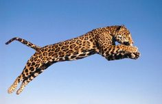 Jaguar: The Rainforest Animal