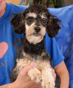 Curly is a vibrant, affectionate youngster debuting for adoption today at Nevada SPCA (www.nevadaspca.org).  He is a Toy Poodle mix, just 11 pounds, neutered boy, 1 year of age.  Curly enjoys meeting people and he gets along beautifully with other dogs.  At the time of rescue he was at another shelter with a severe eye infection.  We've had him treated and Curly has healed well, but his left eye remains dry and needs twice-daily eye-drops.  Please ask for Curly by name when you visit.