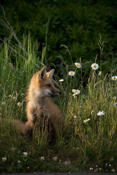 RED FOX Among the Wild Daisies