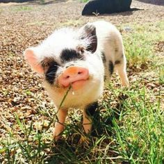 baby pigs are so adorable! Animals And Pets, Baby Animals, Funny Animals, Cute Animals, Pet Pigs, Baby Pigs, Baby Goats, Teacup Pigs, Amor Animal