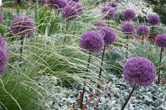 Lamb's Ear, Grass plus allium. What about lamb's ear, plus grasses plus billy's buttons? or plus Echinops banaticus 'frost' (white? Big Flowers, Purple Flowers, Beautiful Flowers, Spring Flowers, Lambs Ear Plant, Stachys Byzantina, Blue Fescue, Fountain Grass, Kangaroo Paw