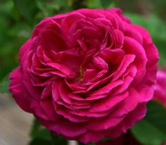 Madame de Sévigné : ce rosier a été retrouvé ce rosier à la demande de la ville de Grignan dont le château évoque le souvenir de Madame de Sévigné, qui s'y éteignit en 1696. Rosier à forte végétation, à bois souple. Fleurs très doubles, en rosettes, d'un rose soutenu carminé, parfumées comme les bourbons. Peut se palisser. Bien remontant, assez bonne résistance aux maladies.  Bourbon. Hybrideur Moreau-Robert, 1874.