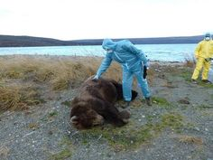 Online viewers of the famous bear cam at Katmai National Park witness a bear cub collapsing and dying, then watch an adult bear also die of unknown causes.