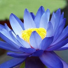 10Pcs Flower Seeds Blue Lotus Seeds Aquatic Plants Water Lily Plants Midnight Blue Lotus at Banggood