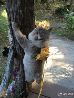 Fat tree climbing cat