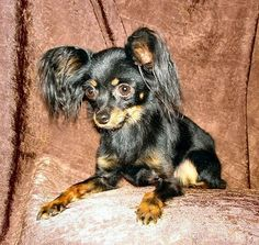 1½ year old Russian Toy Terrier. So adorable!