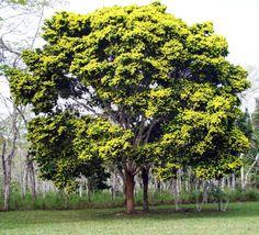 Projeto Arborize: 375 Anos Ininterruptos de Destruição do Pau Brasil
