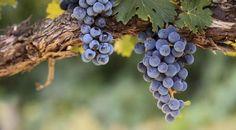 Des vendanges prometteuses... pourquoi ça ne suffit pas à dire si le vin sera bon