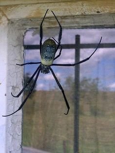 My mother-in-law lives on a farm in KwaZulu-Natal (South Africa), and this what the spiders there look like...