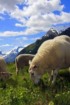 Sheep grazing in Norway// how can this not look desirable?