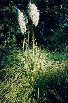 Pampas grass 'Aureolineata'