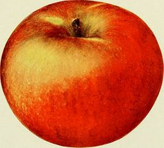 "Image from page 164 of ""The apples of New York"" (1905) 