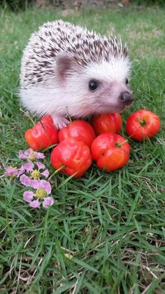 Aw, look at it, so proud of its tomatoes! Those are some wonderful tomatoes, cute hedgehog!