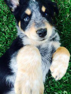 Our dog - Australian Shepherd / Blue Heeler mix