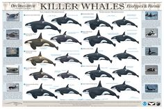 Who knew there were so many different species of killer whales? 35-40 distinct orca populations have been identified around the world.
