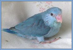i want a blue parrotlet. does anyone know if they are good pets?