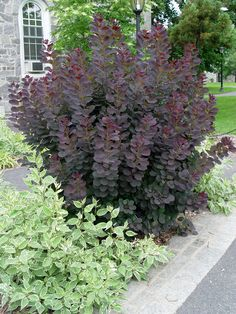 Cottinus coggygria 'Royal Purple' (Smoke Bush)... considered a tree but I grow it as a shrub, whacking it back hard each spring to keep the height lower and make it bush out. easily grows 7-8' tall in a season. glows purple with the sun behind it.