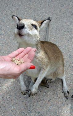 adorable kangaroo getting some treats