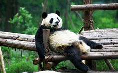 China Giant Panda Pictures