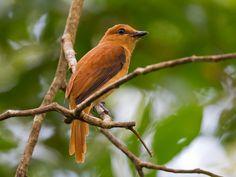 Cinnamon Attila (Attila cinnamomeus) is found in one contiguous range centered on the Amazon Basin.