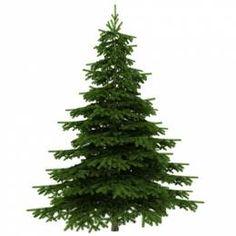 karácsonyfa rendelés Nagy fenyőfák Nordmann fenyő 3,5-4