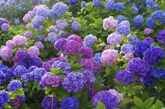 Yahoo! Image Search Results for hydrangea flowers
