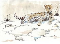 Black Pilot FineLiner ink sketch and W&N watercolour on Amedeo 200gsm / . / An African Leopard (Panthera pardus pardus) sunning himself on some rocks. Powerful, graceful and arguably one of the most beautiful of all the large cats, the elusive leopard is a master of stealth and survival. / . / In the Cape Province south of the Orange River (South Africa), they have been largely eradicated by stock farmers except in rugged mountainous areas. The Cape Leopard that li...