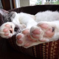 Showing all my toe beans! Submitted by: Sally Bugyie #cattoes #toebeans #catlife #catoftheday #whatcatshave #catlover #pawfection #catlady #cutecats #catlady #catblogger