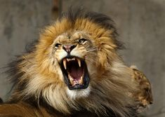 fiercely defend your integrity , character & values ! Fierce Lion, Lion And Lioness, Beautiful Lion, Animals Beautiful, Lion Photography, Lions Photos, Female Lion, Big Cats Art, Spiritual Animal