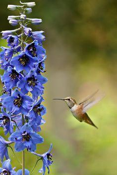 Delphinium and hummingbird