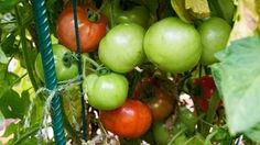 how to plant tomatoes in containers - YouTube