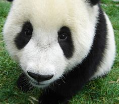Baby Panda Bear. What are you looking at?