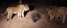 WATCH: Badass Porcupine Fends Off 17 Lions