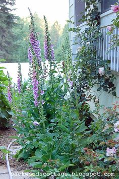 How to Grow Foxgloves, FlowerPatchFarmhouse.com (4 of 27)