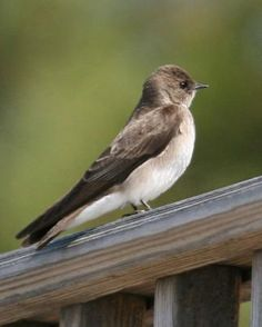 Northern Rough-winged Swallow - new visitor today to my paradise!