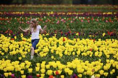 The tulip festival at the Wooden Shoe Tulip Farm in Woodburn runs through April 30th and features over 40 acres of flowers, rides, food and festivities.