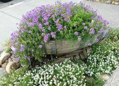 Purple flowers planted in wine barrel