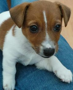 Hunter the Irish Jack Russell puppy - adorable