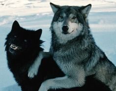 That gray wolf looks like hes trying to cover up the fact that the black wolf is drunk as shit. Its ok, gray wolf. Drive save and stay away from black holes and you should get your friend home just fine