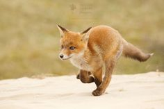 Red Fox Cub by Roeselien Raimond on 500px