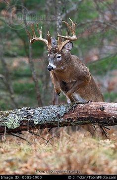 Stock Photo: Big Buck Jumping Over a Fallen Tree
