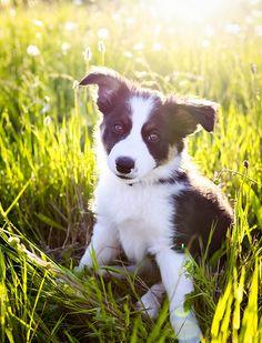 Border collie puppy in the grass. (c) Elite Forces of Fuzzy Destruction.
